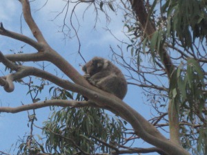 koala great ocean road