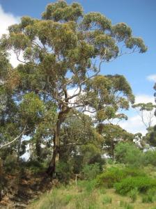 eucalipto Kangaroo Island