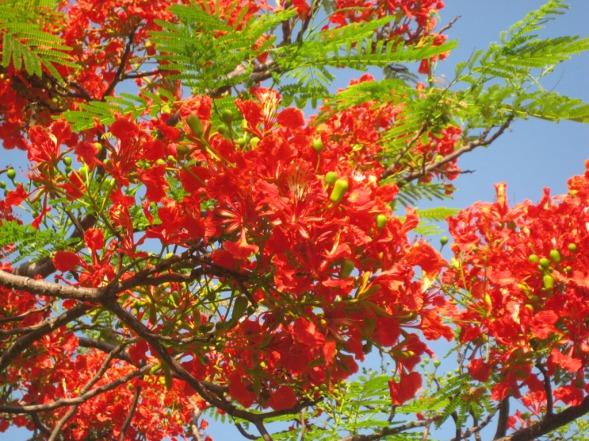 fiori darwin