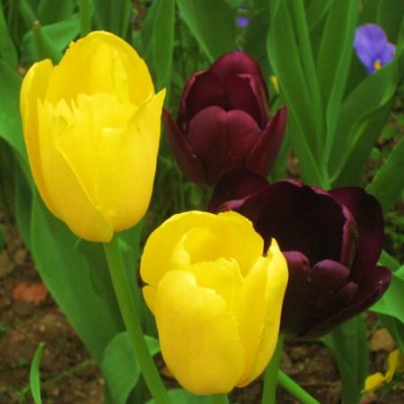villa taranto - tulipani